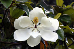 MS State Flower/Magnolia