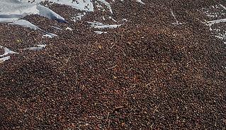 SECADO NATURAL DE CERZA DE CAFÉ