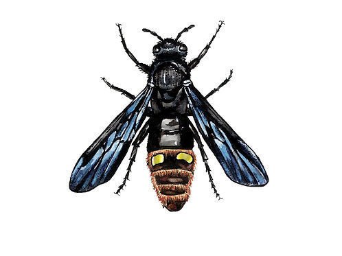 Blue Winged Wasp