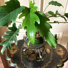 Philodendron Xanadu $18