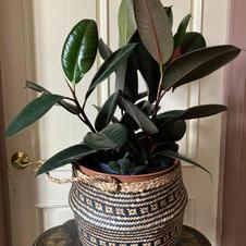 Rubber Plant $45
