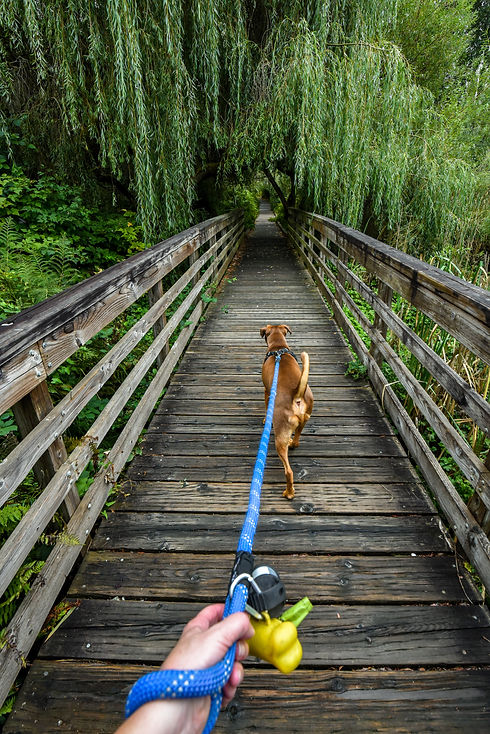 Walking a light brown dog on a wooden bo