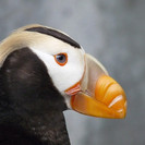 Princess the Puffin