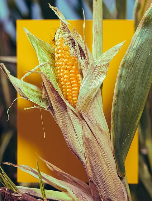 cornweb.jpg