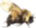 white removed bee 2020-2.png