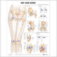 Hip and knee.jpg