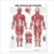 Muscle chart.jpg