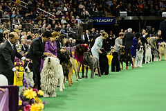 Show leads and leashes for dogs