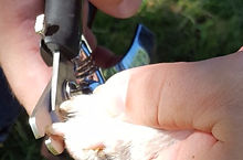 Resco nail clipper cutting a dog's nail