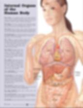 internal organs.jpg