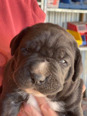mastiff x puppies for sale