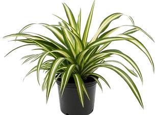 "alt=""spider plant"""