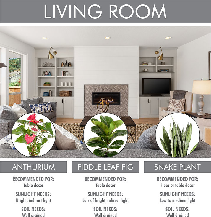 A picture for Living Room plant suggestions. Shows a picture of a modern living room with three plants listed below, with pictures and text. Anthurium: recommended for table decor. Sunlight needs: bright indirect light. Soil needs: well drained. Fiddle Leaf Fig: recommended for table decor. Sunlight needs: lots of bright indirect light. Soil needs: well drained. Snake Plant: recommended for floor or table decor. Sunlight needs: low to medium light. Soil needs: well drained.