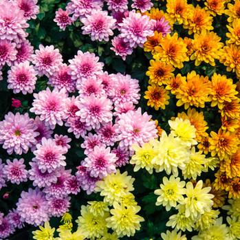 Mums Flowering