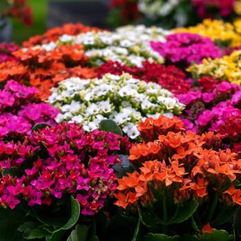 Kalanchoe Flowerings
