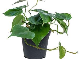 "alt=""Philodendron"""