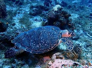 Coz Turtle.jpg