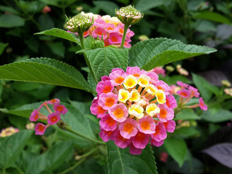 LANTANA: CESPUGLI COLORATI ANTI ZANZARE