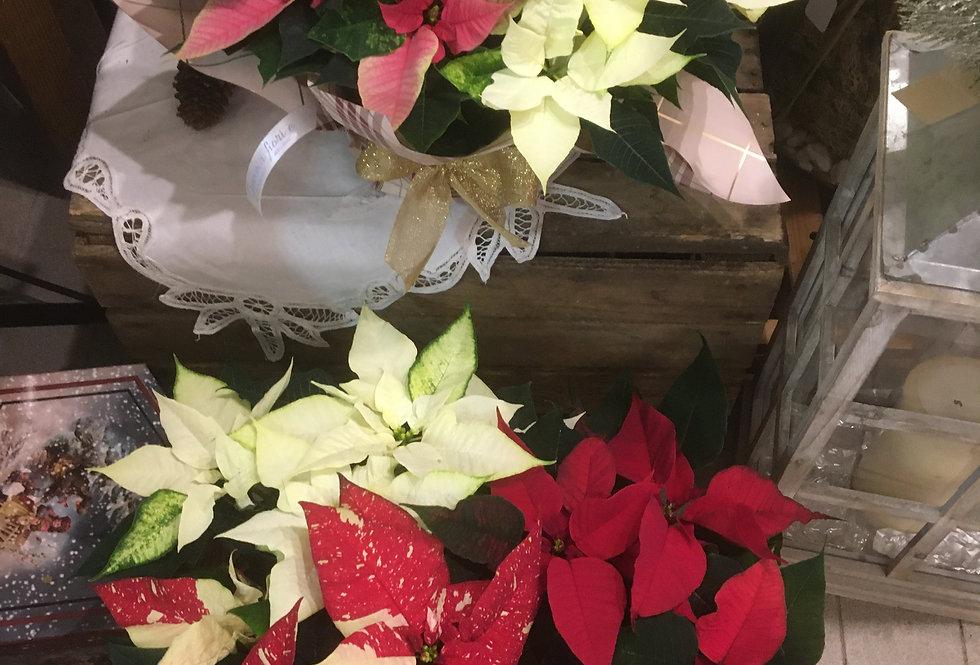 Ciotola Stella di Natale