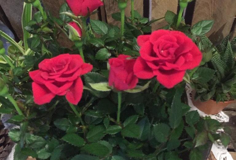 Rose Kordana -  per interno ed esterno