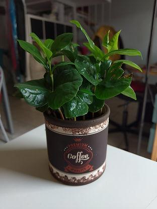 pianta del caffe.jpg