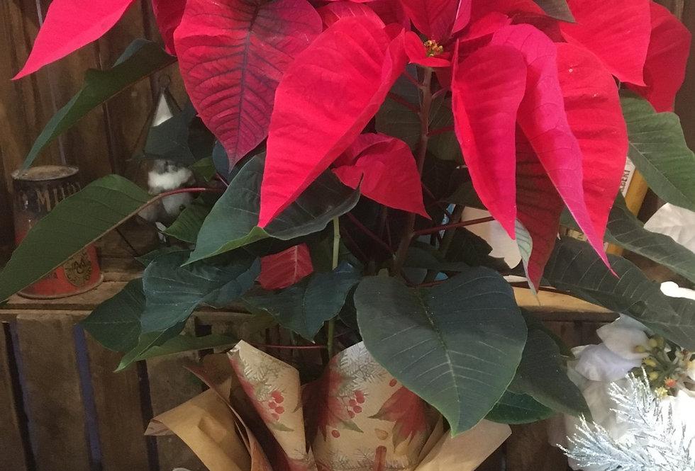 Stella di Natale vaso 17 cm