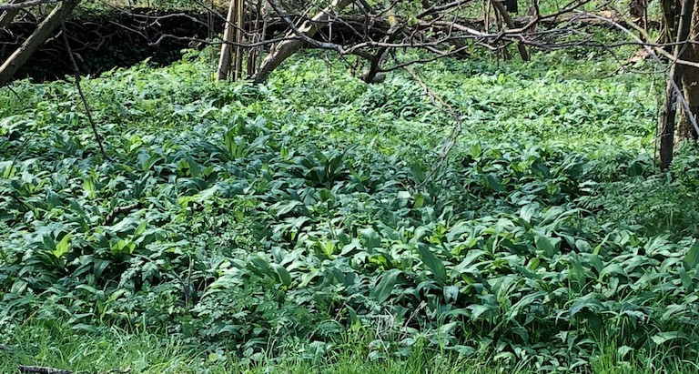 There is garlic and then there is wild garlic…