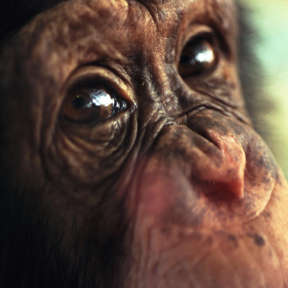 Copia de Chimpanzee Awareness Campaign N