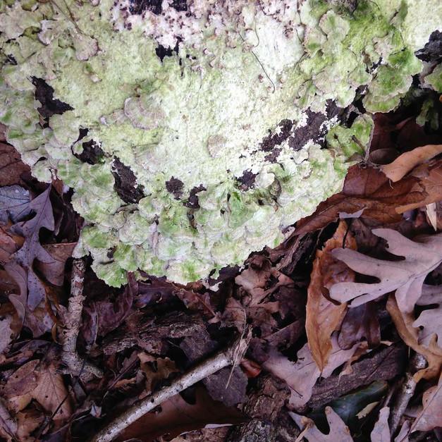 Fungus Among Us, Maryland USA