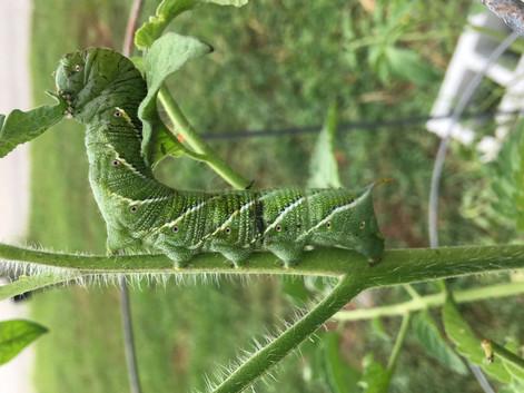 Hornworm - Gratitude Garden, Clinton, Maryland USA