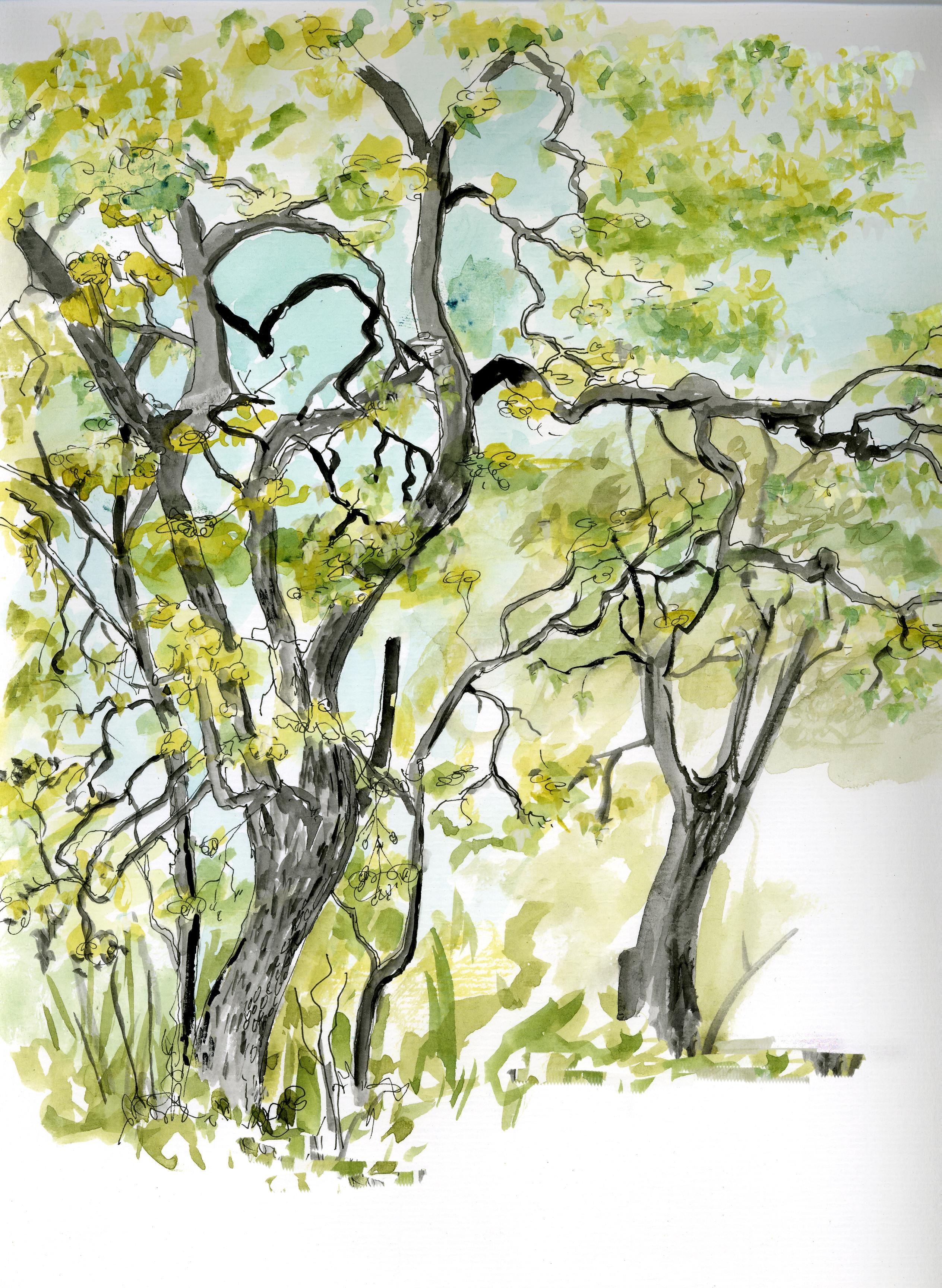 Bidwell Oaks.jpg