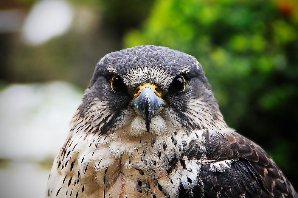 Faucon de face vigilant