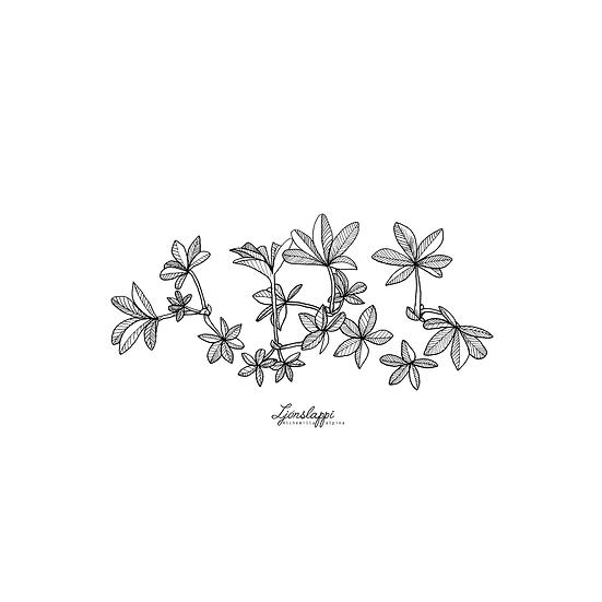 Ljónslappi // Alpine Lady's Mantle
