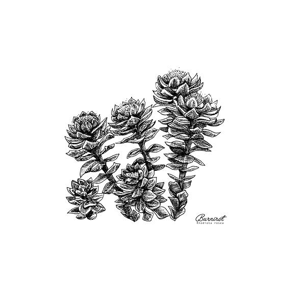 Burnirót // Arctic Root