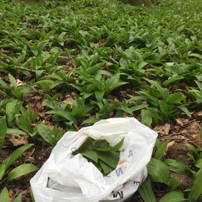 Vienna: Waiting for the wild garlic to blossom