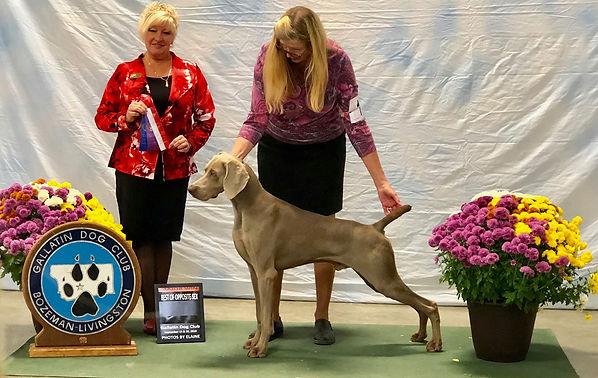 Champion silver Weimaraner dog show