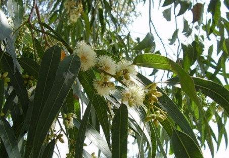 Huile essentielles de Eucalyptus globulus