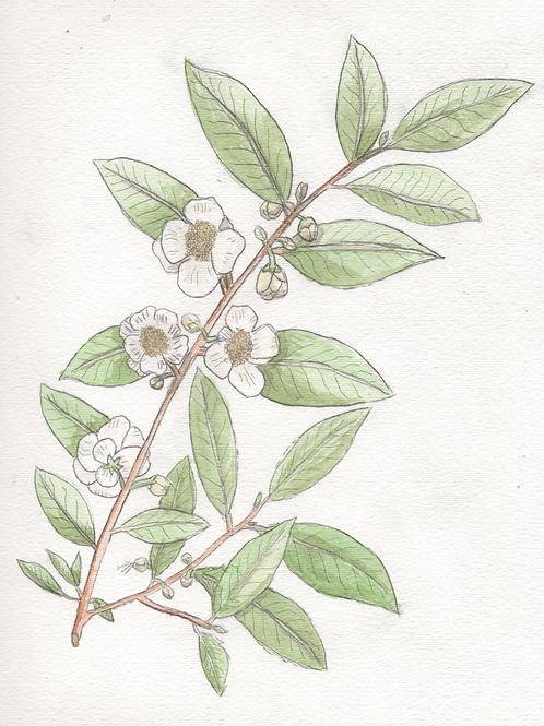 Camellia Sinensis (Tea Plant) Print