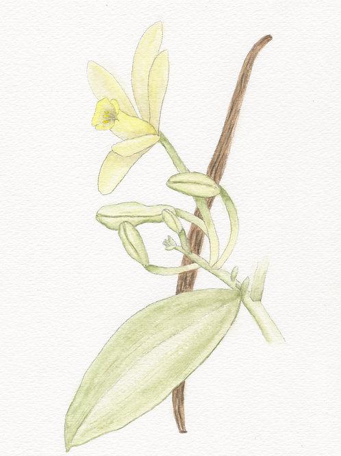 Vanilla Orchid Print