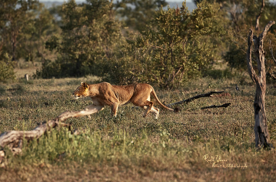 Lioness-Staking-02-small.jpg