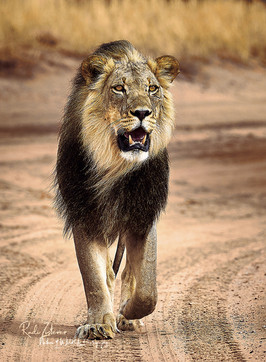 Lion-2a-small-Signature.jpg