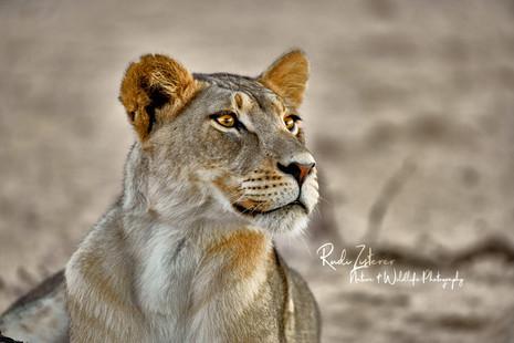 Lioness-3.jpg