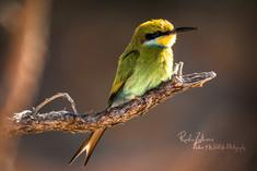 Bee-Eater (1 von 1).jpg