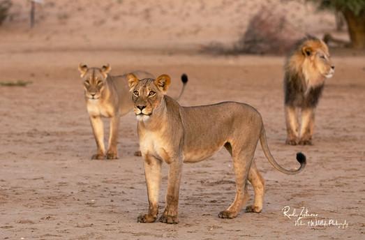 lion-04.jpg