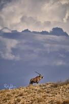 Oryx-1.jpg