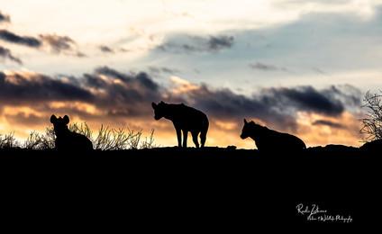 Hyena-Silhouettes-02.jpg