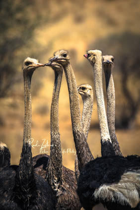 ostrich (1 von 1).jpg