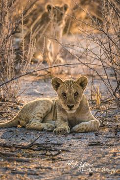 lioncub.jpg