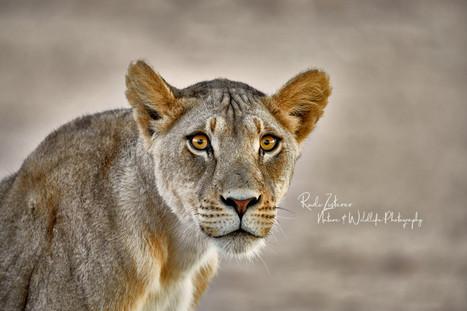 Lioness-1A.jpg