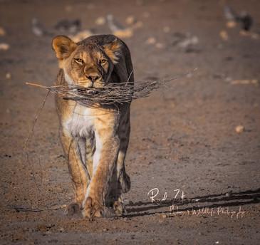 rooiputs-lion2 (1 von 1).jpg